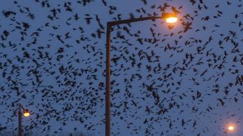 Madarak terrorizálják a kisállatokat Szegeden