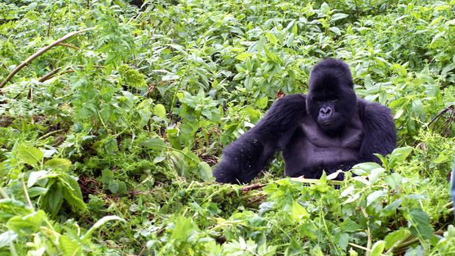 Ruanda megduplázta a gorillales árát