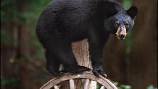 Önnek lenne ennyi lélekjelenléte, mikor bekopogtat az ablakán egy medve?