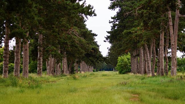 Új fákkal bővül a híres keszthelyi Fenyves allé