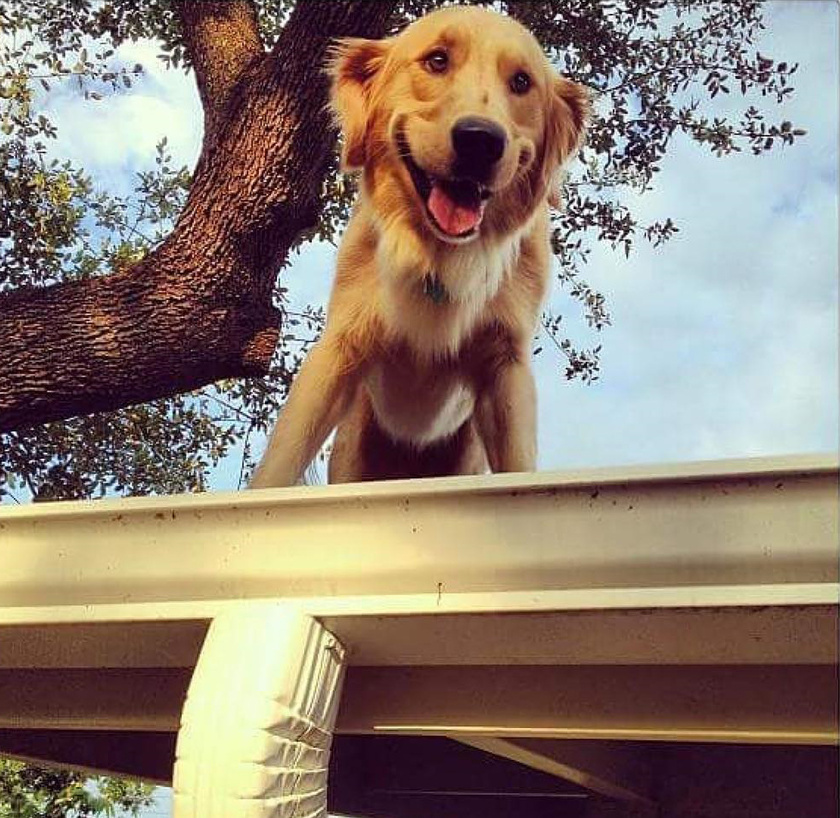 Huckleberry kedvenc elfoglaltságai közé tartozik, hogy figyeli az utcát. A szomszédság már hozzászokott ehhez a bájos látványhoz.