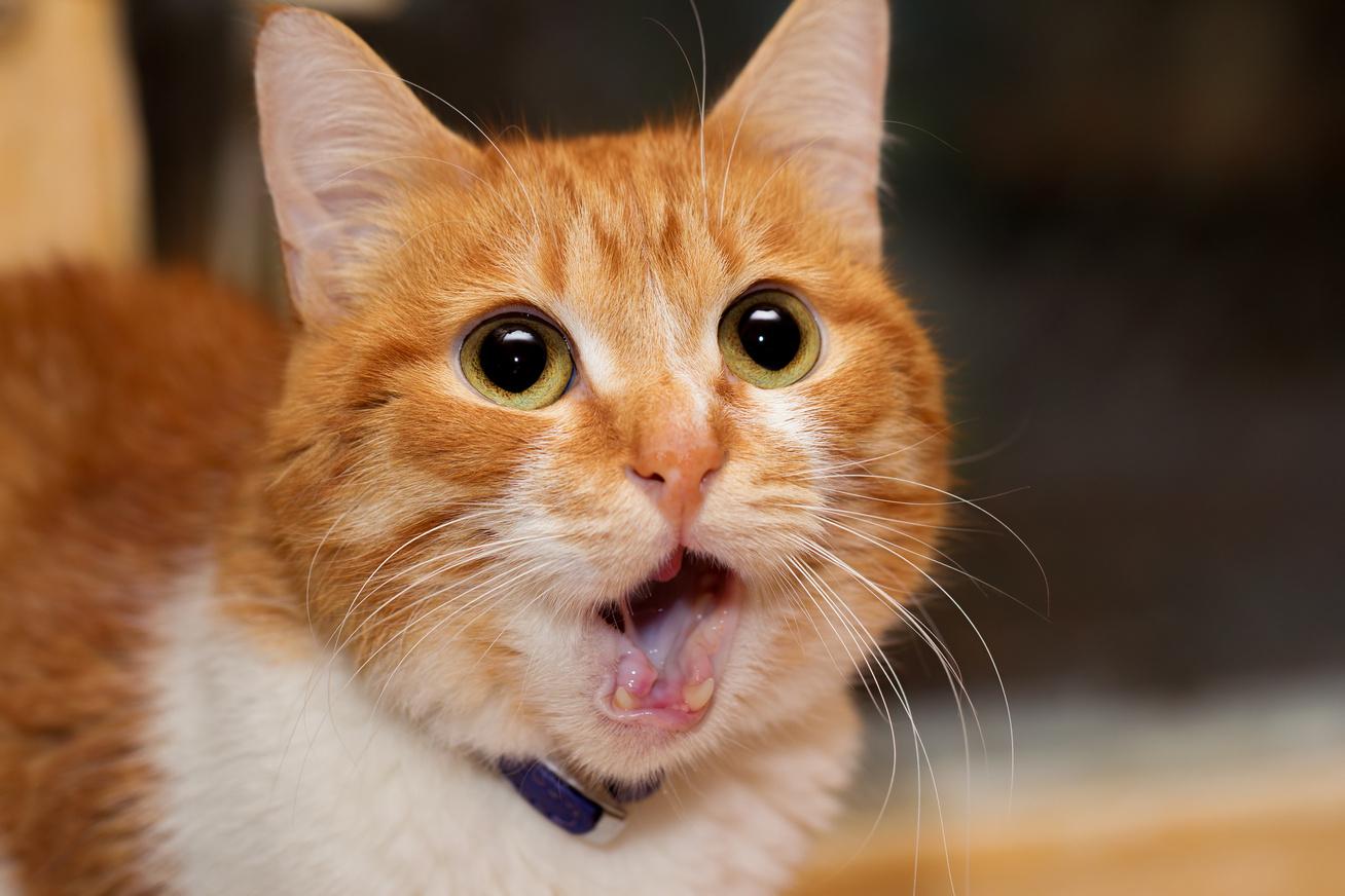 macska-meglepett