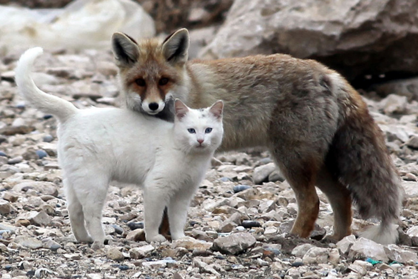 A különös cica-róka párra Törökországban lettek figyelmesek, és azt is megfigyelték, hogy szinte folyamatosan együtt játszanak, és mindenhová követik egymást.