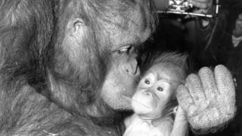 Kilencéves orangutánok is anyjuk csecsén csüngenek