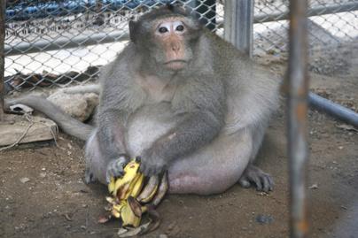 majom-elhizott