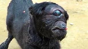 Küklopsz-kecske született Indiában