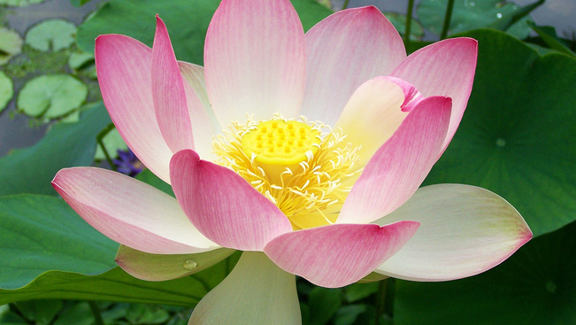A turistáktól elzártan őrzik az utoljára tíz évvel ezelőtt virágzó lótuszokat Thaiföldön