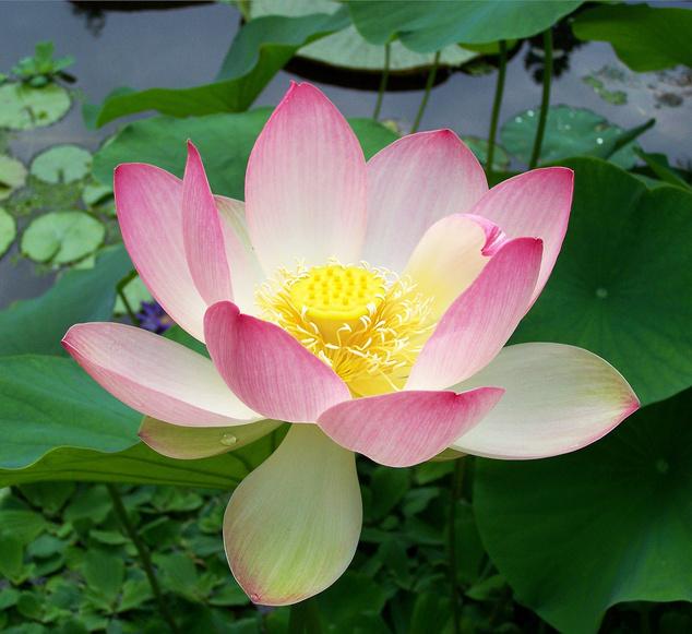 Hazánkban először a 19. században, a Szent Lukács gyógyfürdő egyik meleg vizű tavába ültettek indiai lótuszt. Szegeden, a Szegedi Tudományegyetem Botanikus Kertjében az 1950-es évektől kezdve ma is látható