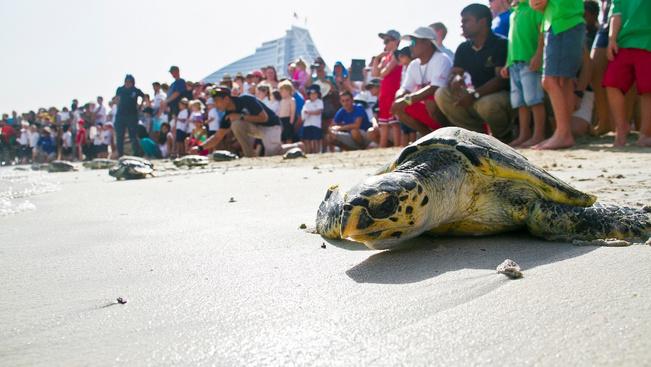 Kollektív etetéssel ünneplik a teknősök világnapját Dubajban