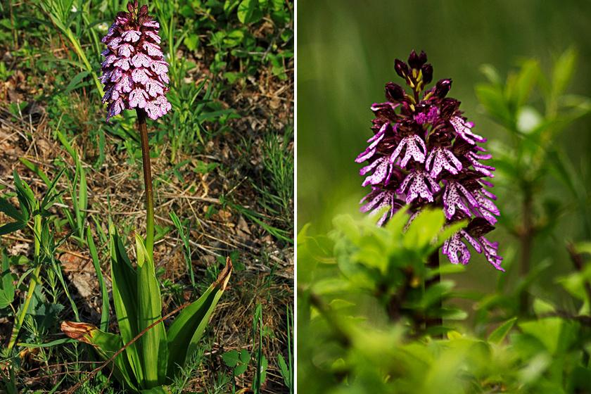 A gyönyörű erdei vagy bíboros kosbor - Orchis purpurea - 30-50 centi magas is lehet, szálanként nő, és a Cserhát, a Mátra, a Börzsöny és a Keszthelyi-fennsík tölgyeseiben, löszgyepein elterjedt.