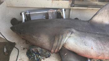 Felugrott a hajóra egy hatalmas cápa