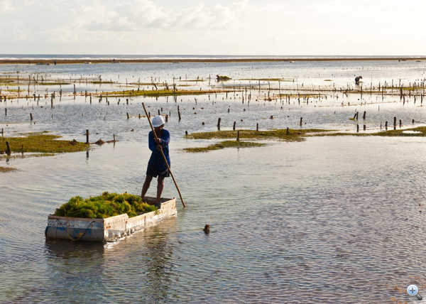 A tengeri hínár fontos exportcikk (Bali, Indonézia)