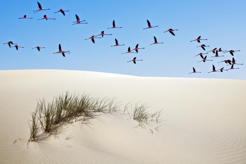 Rózsás flamingók repülnek a homokdűne felett a Doñana Nemzeti Parkban, mely Andalúziában terül el.