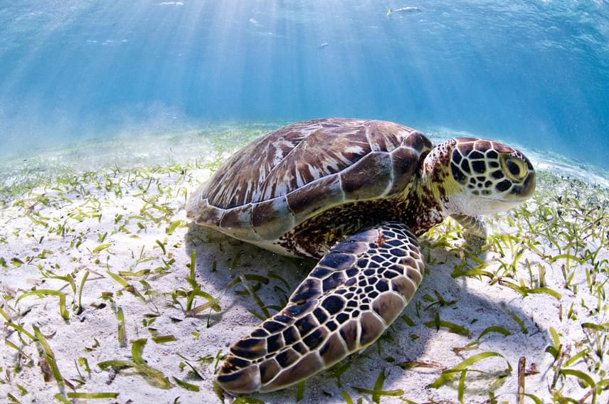 A Belize-zátonyon háromféle tengeri, zöld-, cserepes-, valamint álcserepes teknős is él.
