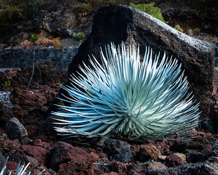 A kráterben, illetve annak peremén élő ezüstkard csak itt található meg. A gyönyörű növény különlegessége, hogy virágzás esetén még az embernél is magasabbra nőhet. Életében viszont csak egyszer hoz virágot, utána elpusztul.