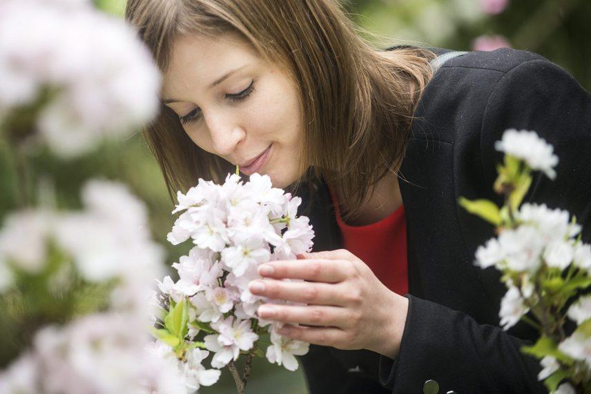 Egy látogató közelről is megcsodálja a cseresznyevirágokat.