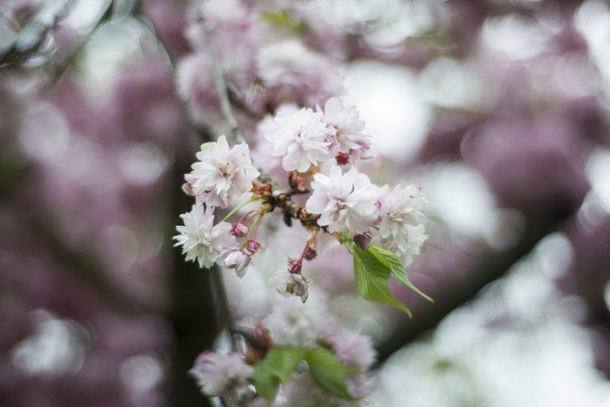 Egy másik cseresznyefa virágai, melyek nem kevésbé gyönyörűek.