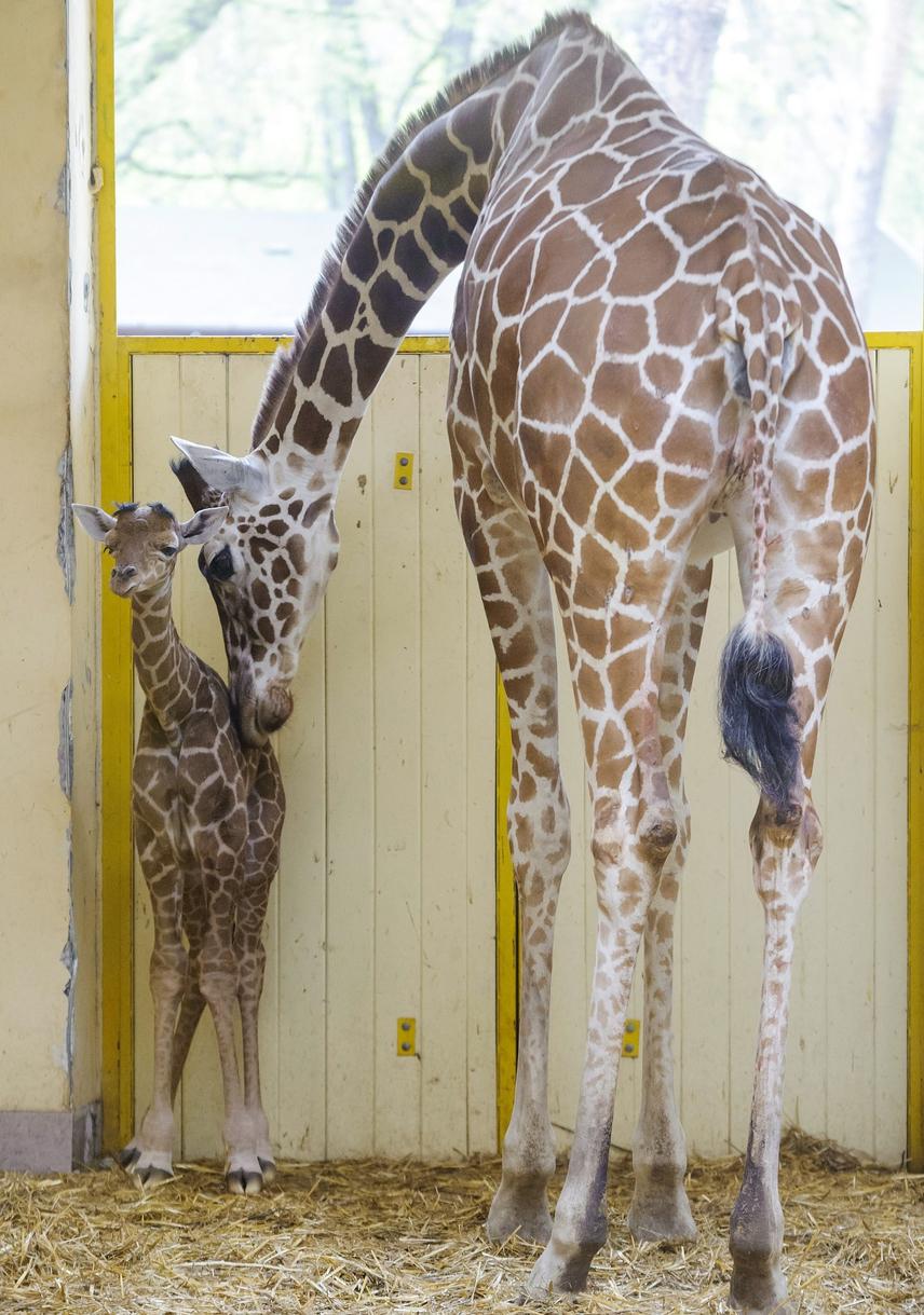 Először született zsiráf a debreceni állatkertben 2016. április 11-én. Az újszülött recészsiráf-csikó anyja, Emma mellett látható a születése napján.