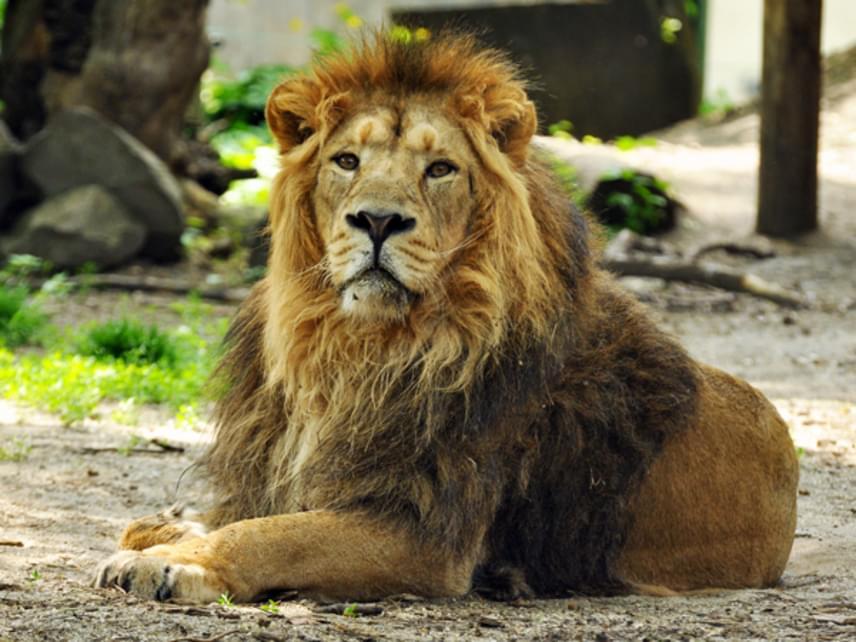 Basil, az örökbe fogadott oroszlán
