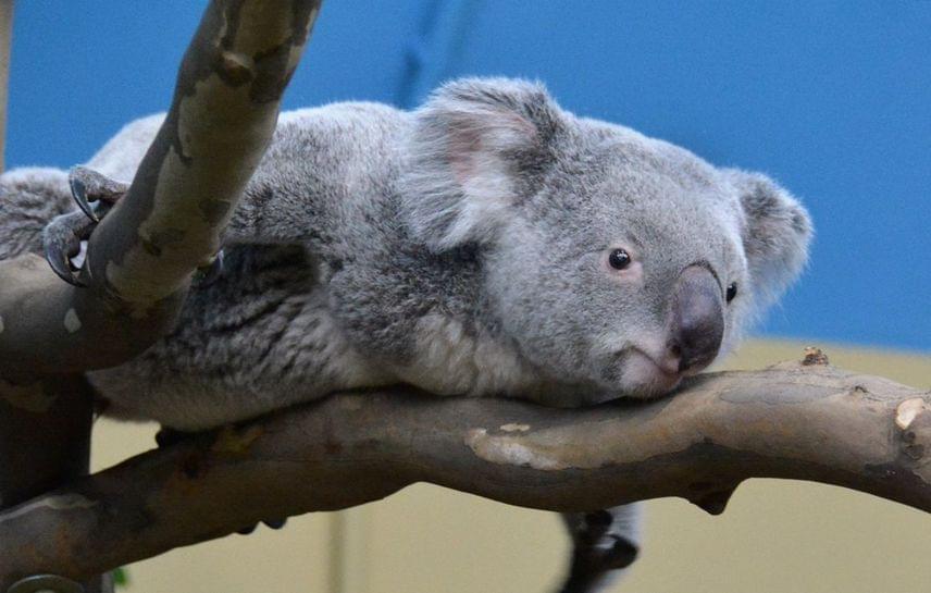 Vobara, az egyik koalafiú
