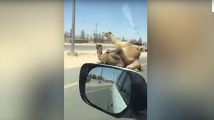 Közlekedési dugó: két teve küzd a fajfenntartásért egy autópályán