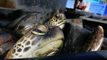 Vegyszerkoktélt találtak a tengeri teknősök vérében