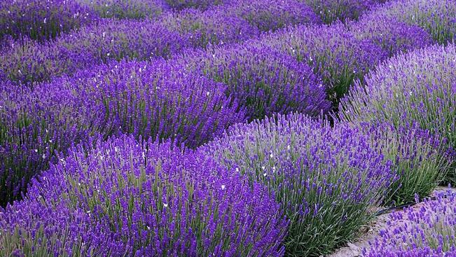Kóstoljon lila fröccsöt a Balaton legújabb levendulásán!