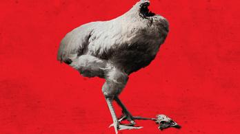 A fej nélküli csirke legendája