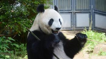 Öt év után született pandabocs egy japán állatkertben
