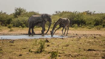 Most már biztos, hogy két afrikai elefántfaj létezik