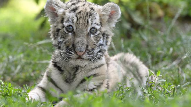 Héthetes kistigris a debreceni állatkert új sztárja