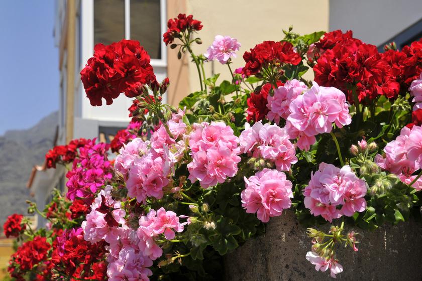 A muskátli akkor lesz igazán hálás és gazdagon virágzó, ha gondoskodsz arról, hogy rengeteg napfényhez jusson.