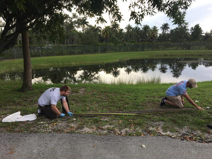 A Floridában befogott nőstény burmai piton