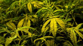 Lengyelország legalizálta az orvosi marihuánát