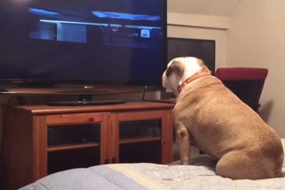 bulldog-kep