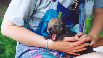 Kézben nevelt farkaskölykök ragaszkodását vizsgálták az ELTE kutatói
