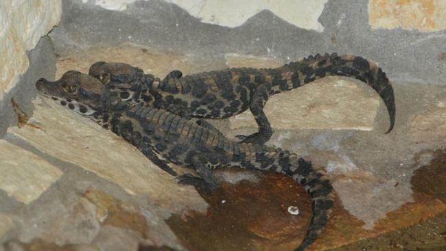 Egyre több a kölyök krokodil Szegeden