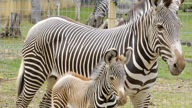 Különleges zebra született Nyíregyházán