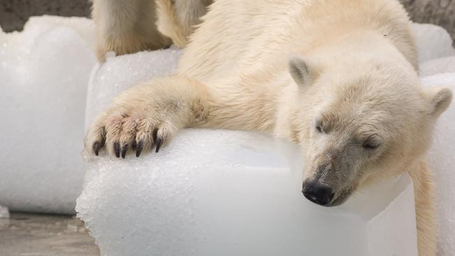 Nézegessen jégtömbökkel játszadozó jegesmedvéket