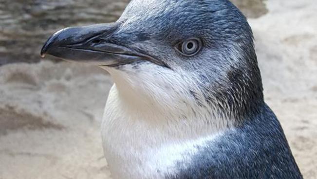 Az új-zélandi akvárium nyilvánosan megszégyeníti rossz magaviseletű pingvinjeit