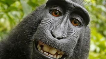 Meglepő egyezség született a majomszelfiperben