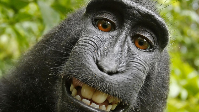 Három éve tart a per a majomszelfi szerzői jogaiért
