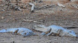 A félénk krokodilok vidéke - Windjana Gorge