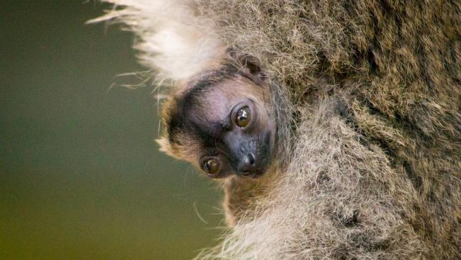 Sárgaszakállas maki született a Nyíregyházán