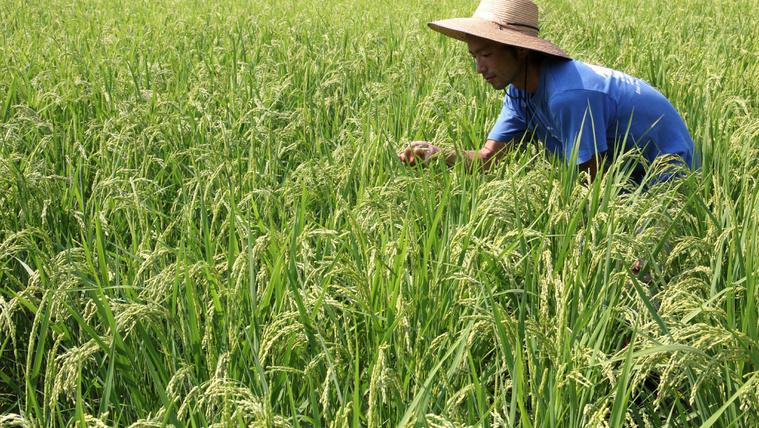 Nagyágyúk is lehetnénk rizstermesztésben