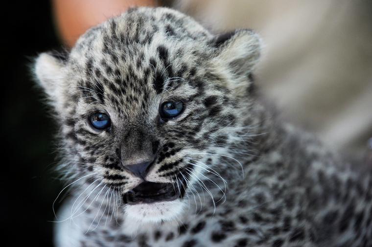 TÁDÁM!                         Ez a lény itt egy perzsa leopárd, a Nyíregyházi Állatparkban született, négy hete.