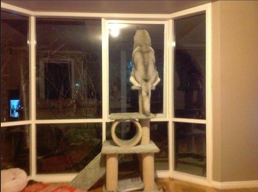 Vicces látvány, ahogy a nagy termetű husky a macskamászóka tetejére kapaszkodva leselkedik.
