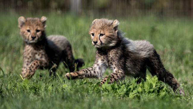 Öten vannak és hathetesek a Prágai Állatkert borzas kisgepárdjai