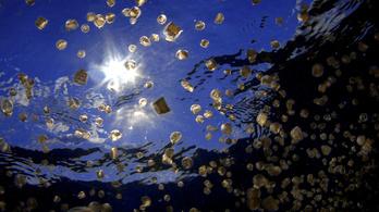 Az öt focipálya nagyságú tó, amiben 8 millió medúza él