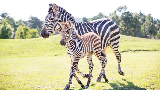 Játékos zebracsikóval gyarapodott a Veszprémi Állatkert